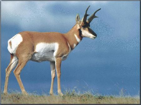 Antelope - 03 photo