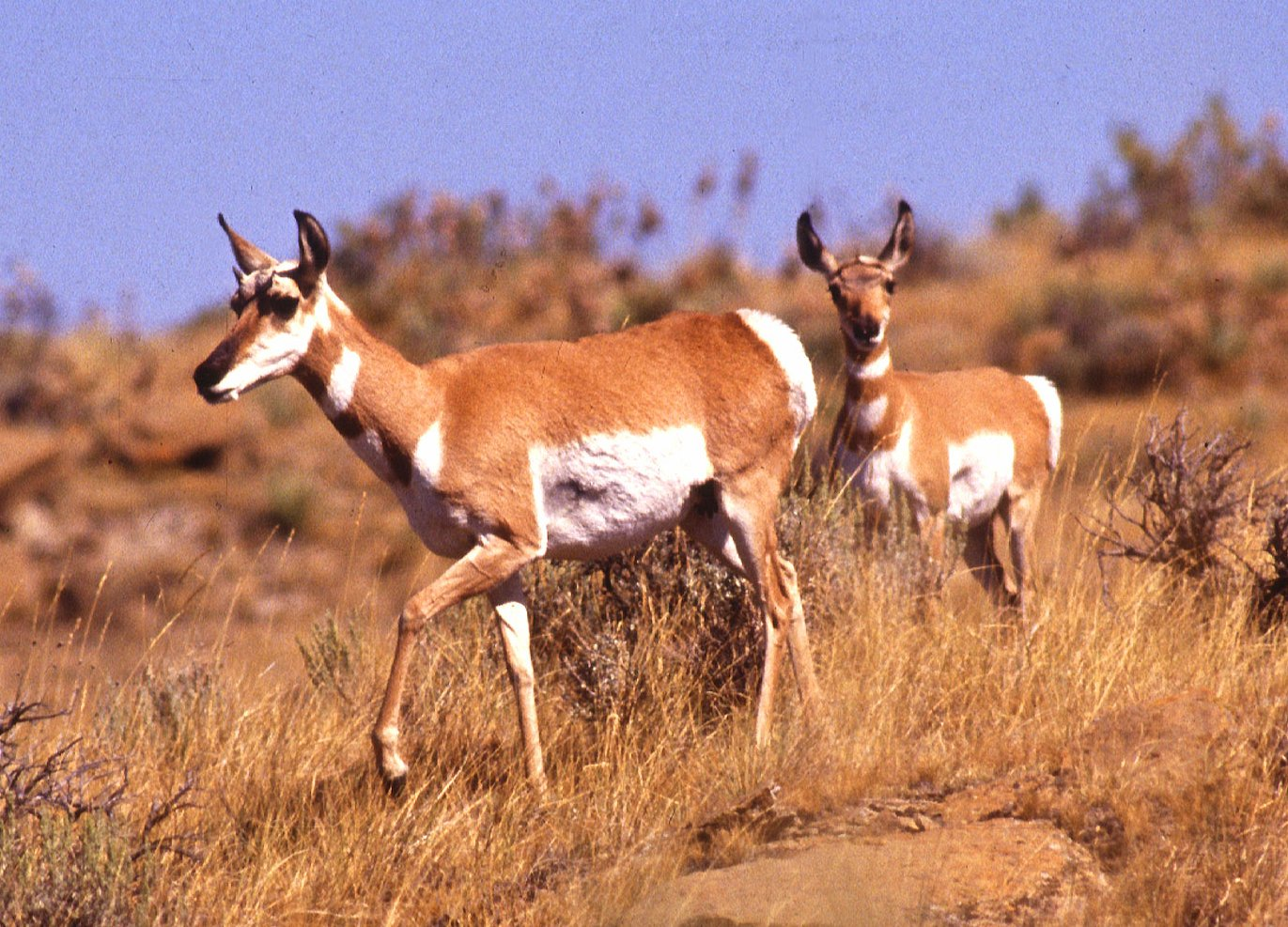 Antelope - 05 photo