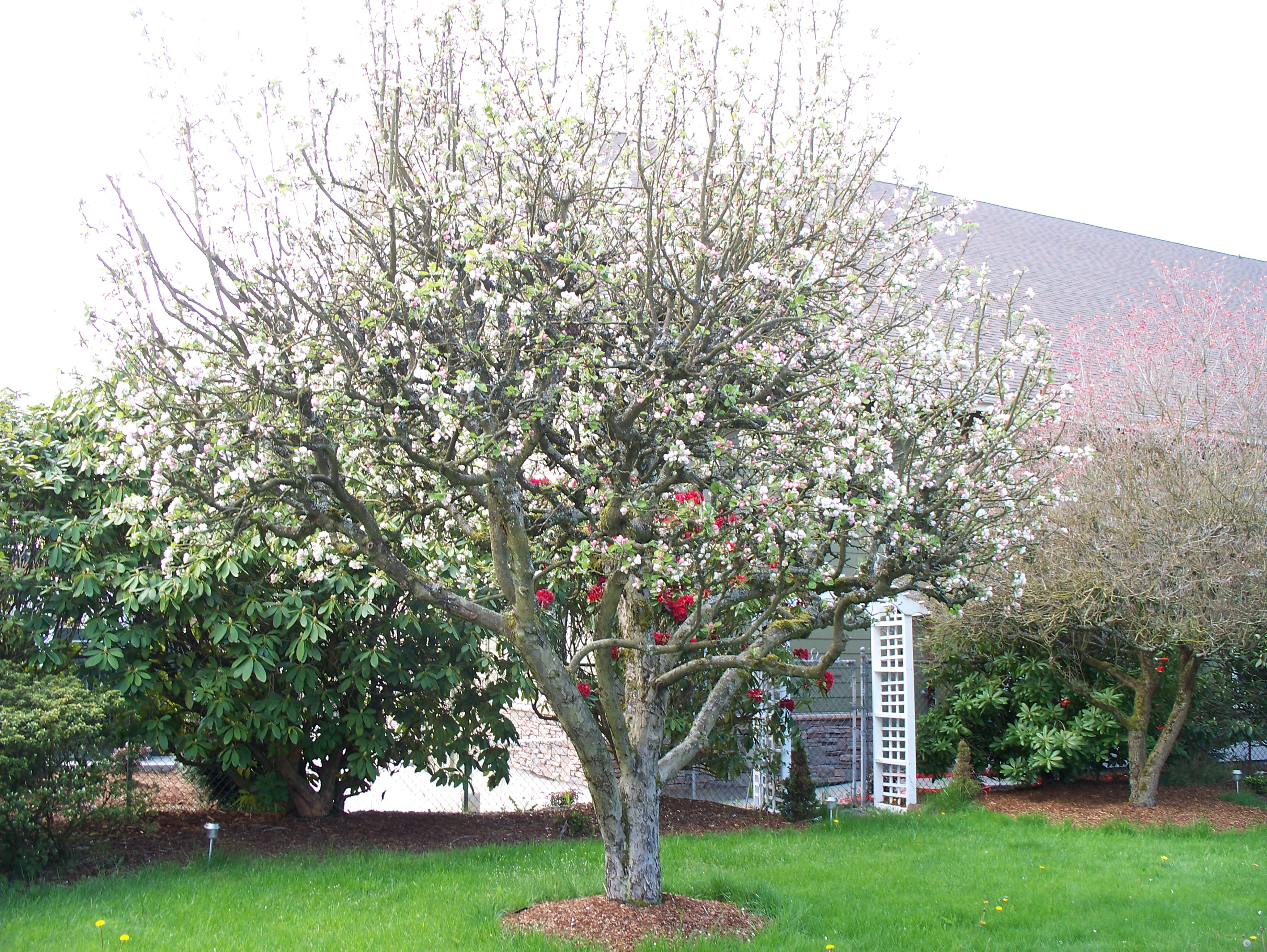 Apple tree the meaning of the dream in which you see apple tree apple tree 03 photo buycottarizona
