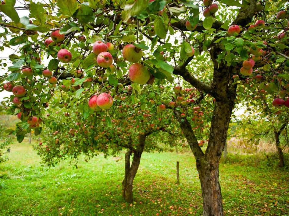 Apple tree - 04 photo