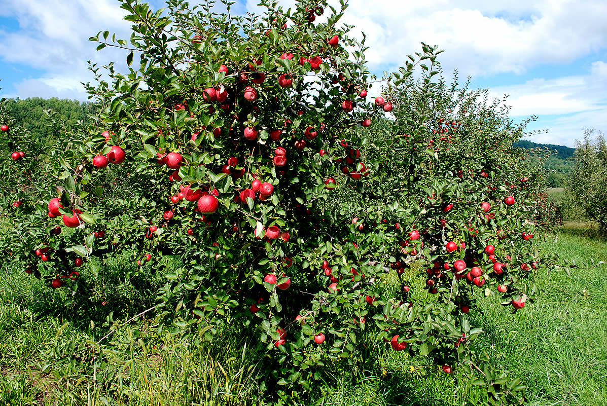 Apple tree - 05 photo