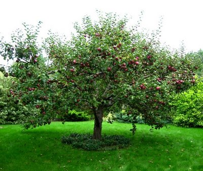 Apple tree - 06 photo