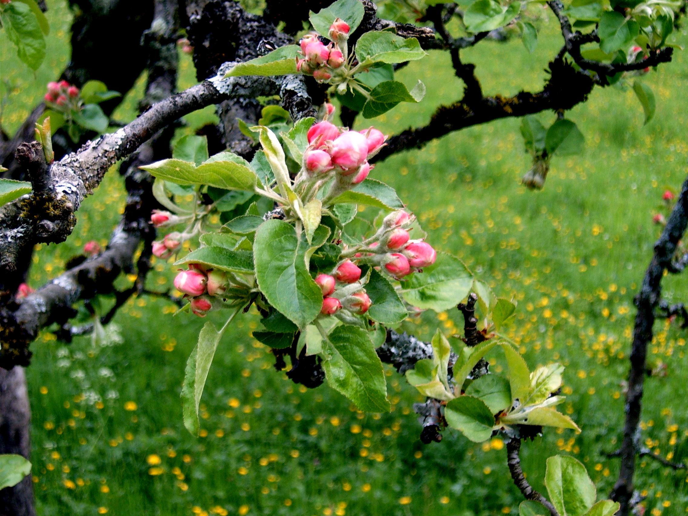 Apple tree - 07 photo