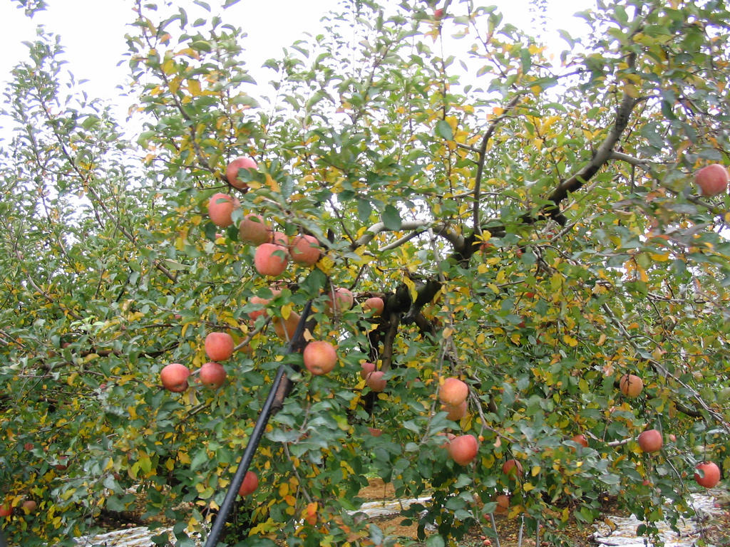 Apple tree - 08 photo
