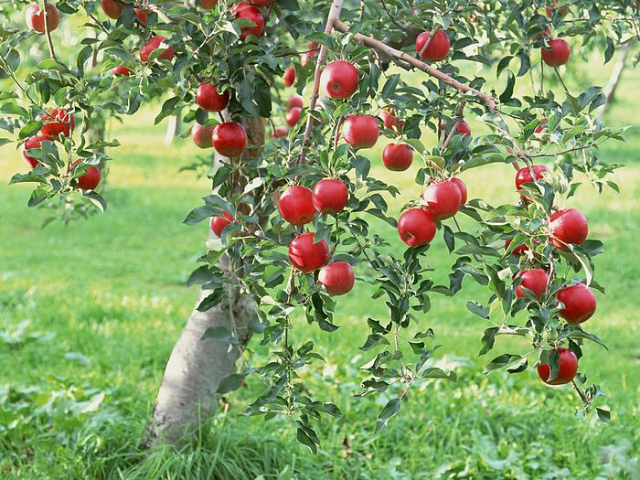 Apple tree - 09 photo