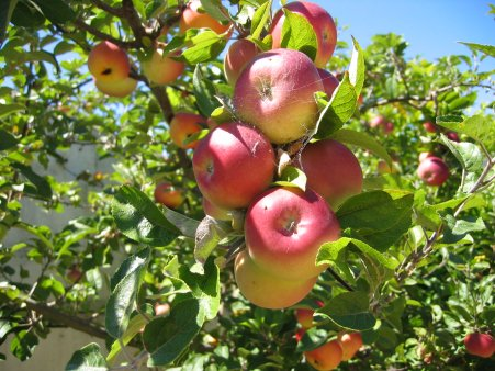 Apple tree - 11 photo