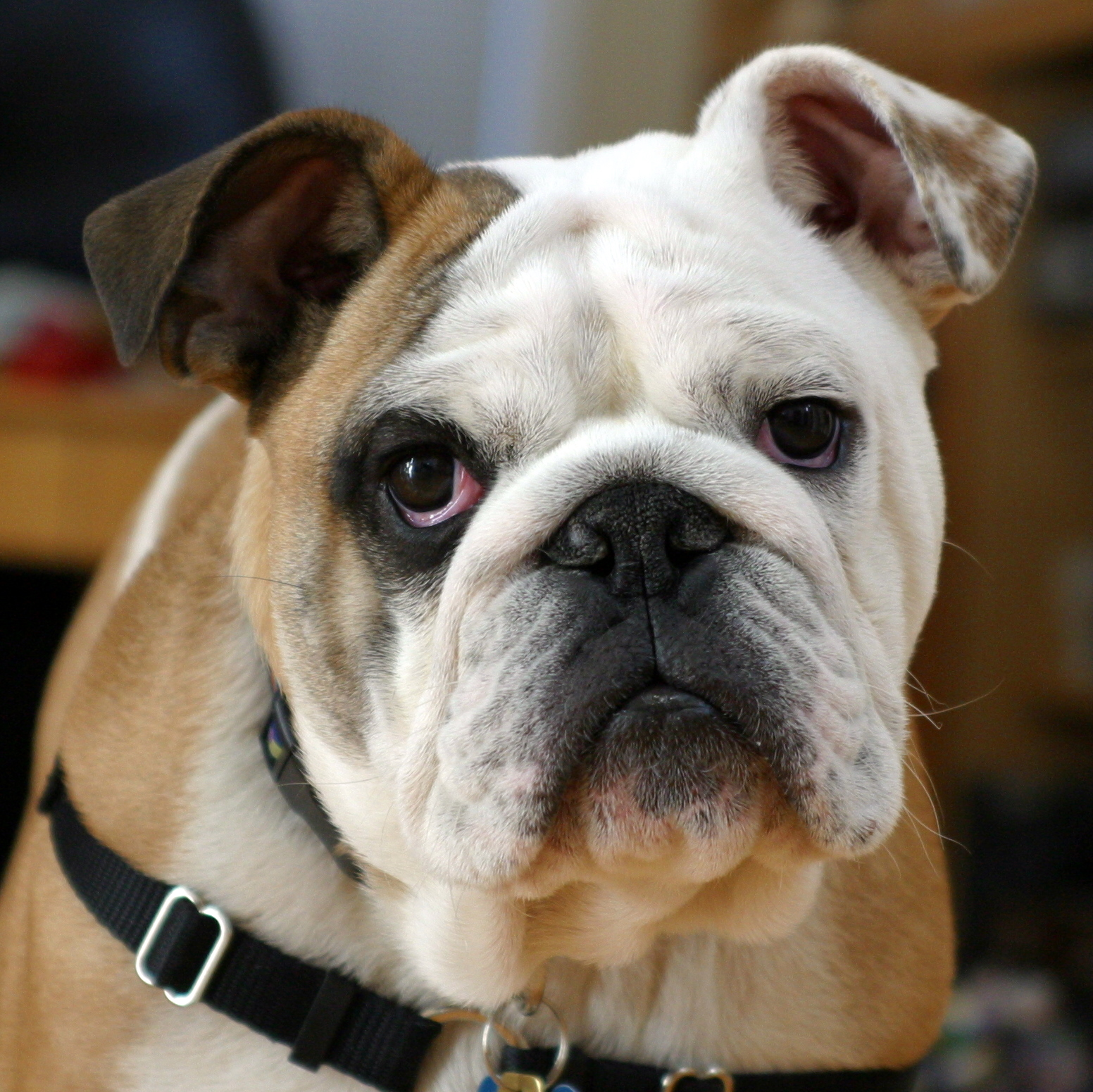 Bulldog - 01 photo
