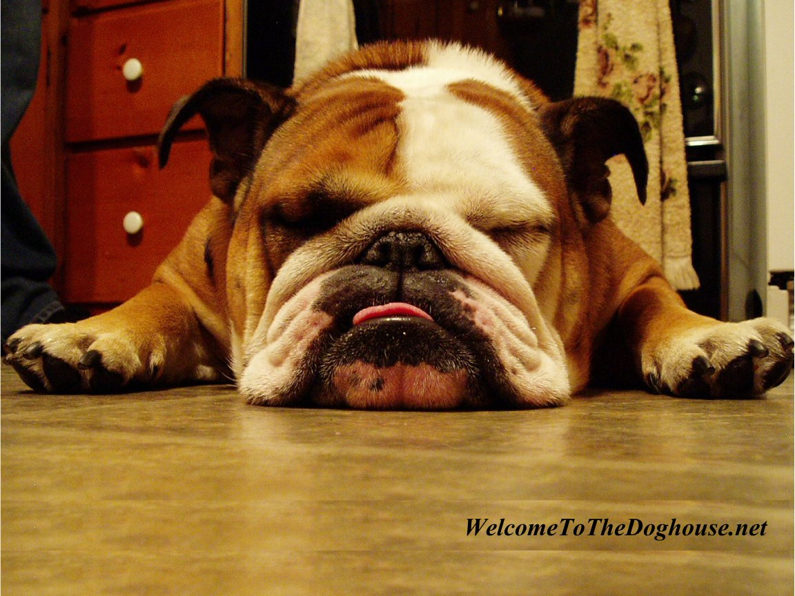 Bulldog - 02 photo