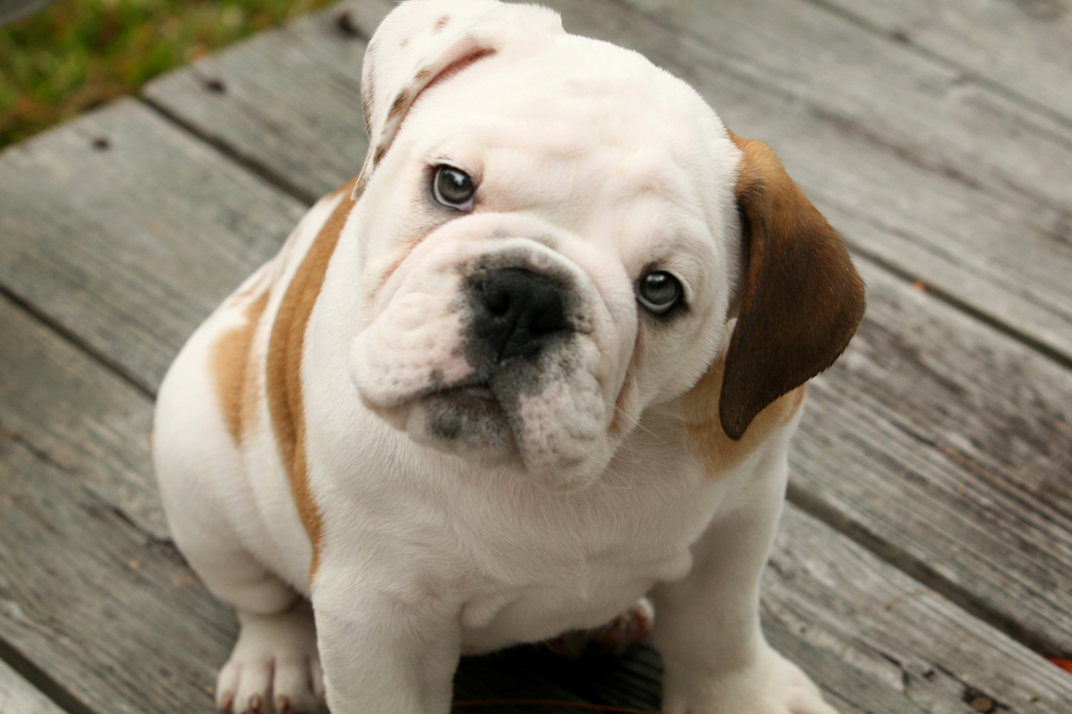 Bulldog - 04 photo