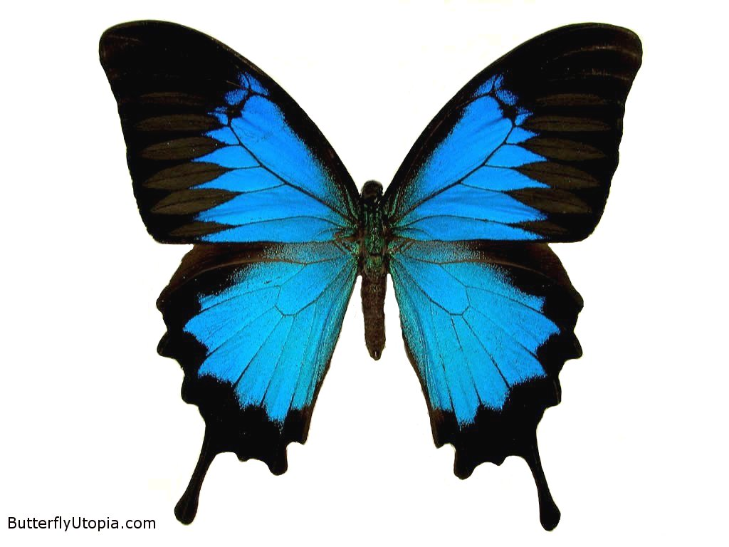 35 Meaning Of Blue Butterfly Emoji Emoji Butterfly Meaning