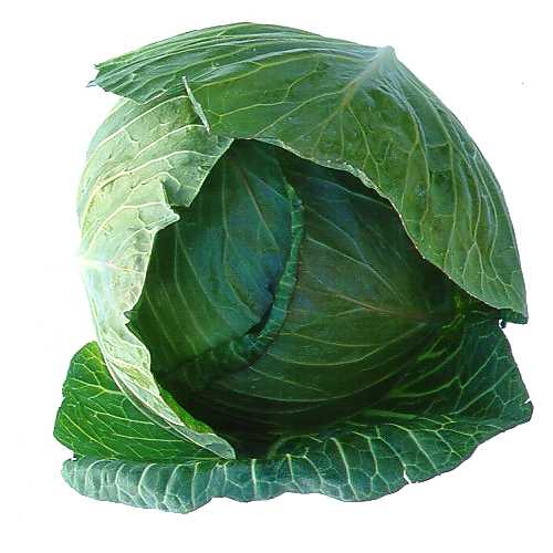 Cabbage - 03 photo