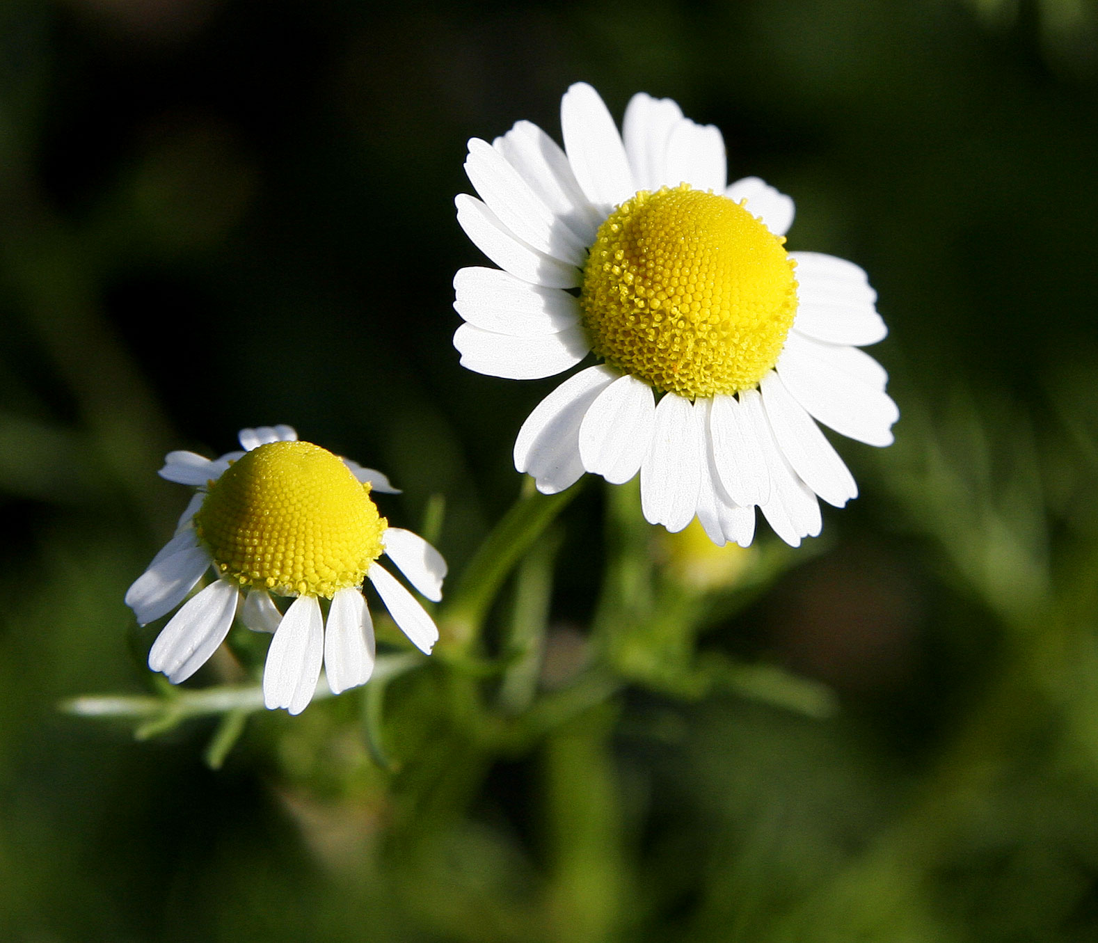 Chamomile - 02 photo