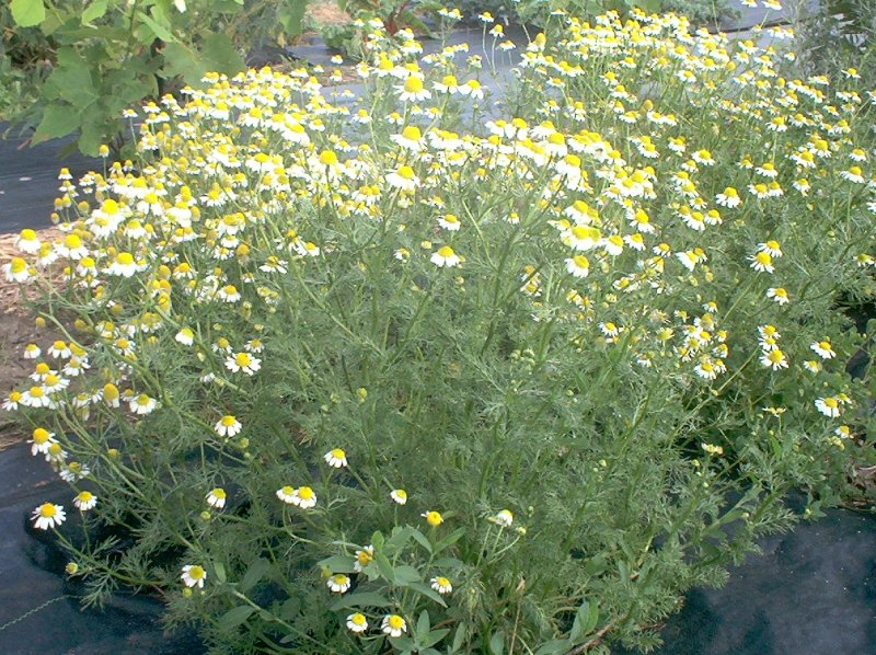 Chamomile - 04 photo
