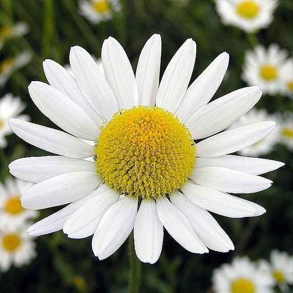Chamomile - 05 photo