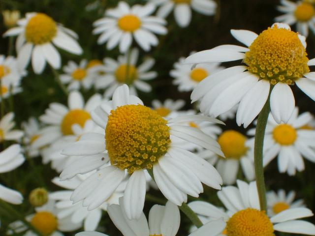 Chamomile - 07 photo