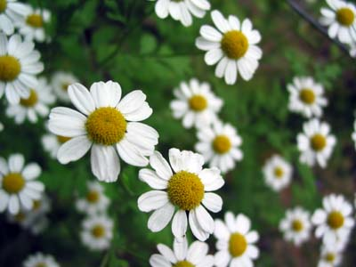 Chamomile - 10 photo