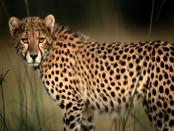 Cheetah - 01 photo