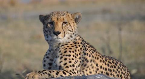 Cheetah - 02 photo