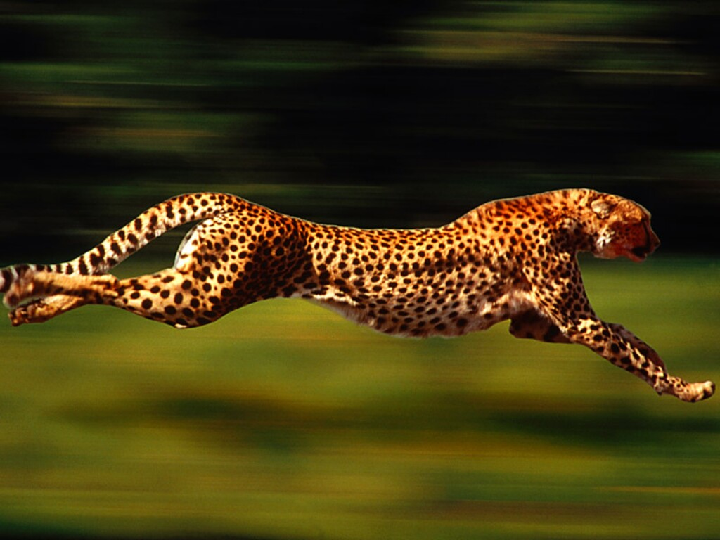 Cheetah - 05 photo