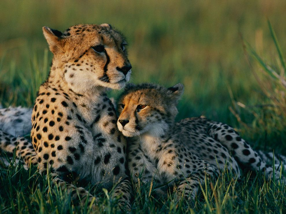Cheetah - 07 photo