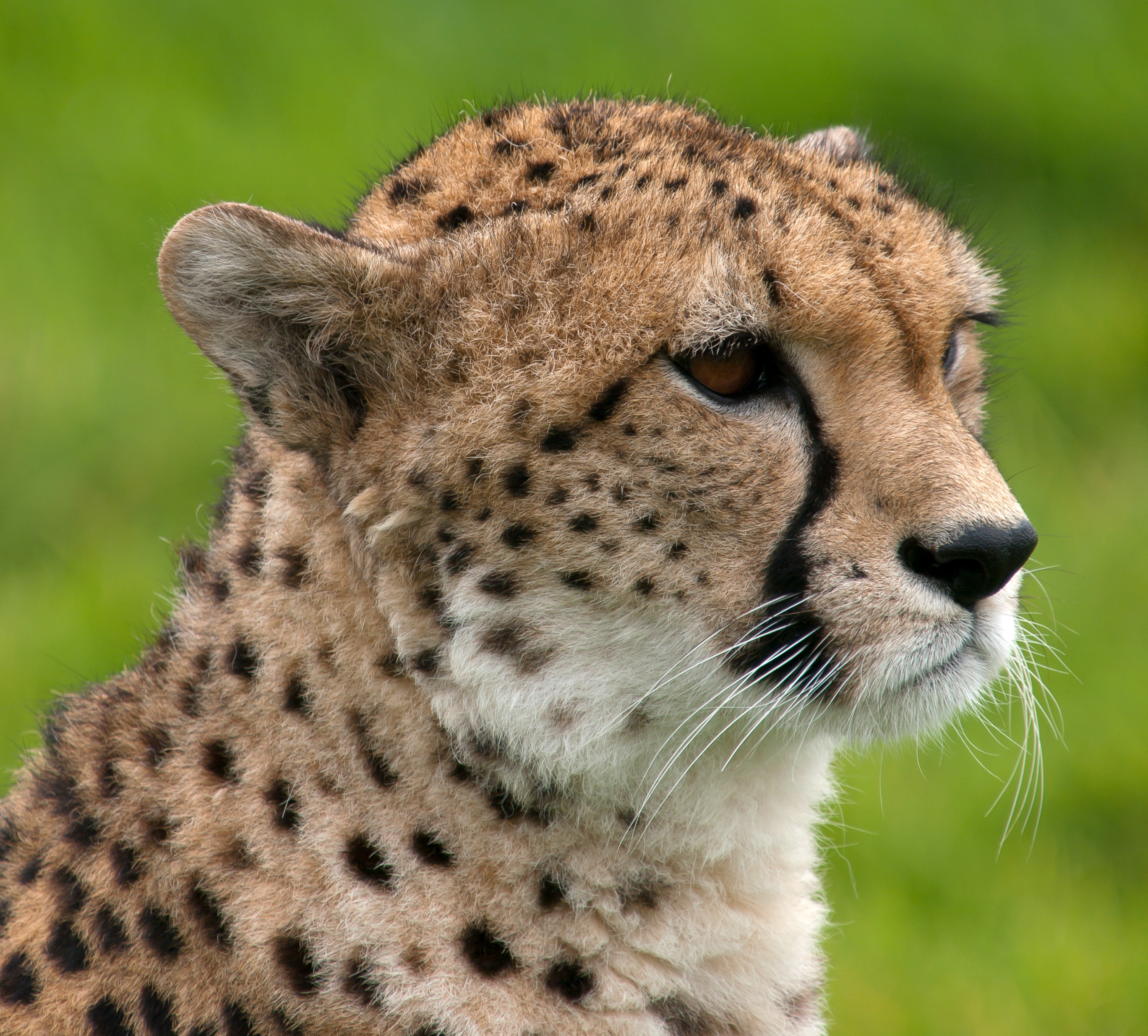 Cheetah - 11 photo