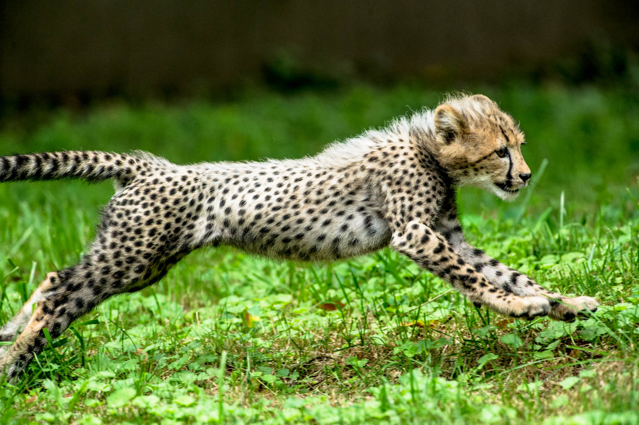 Cheetah - 12 photo