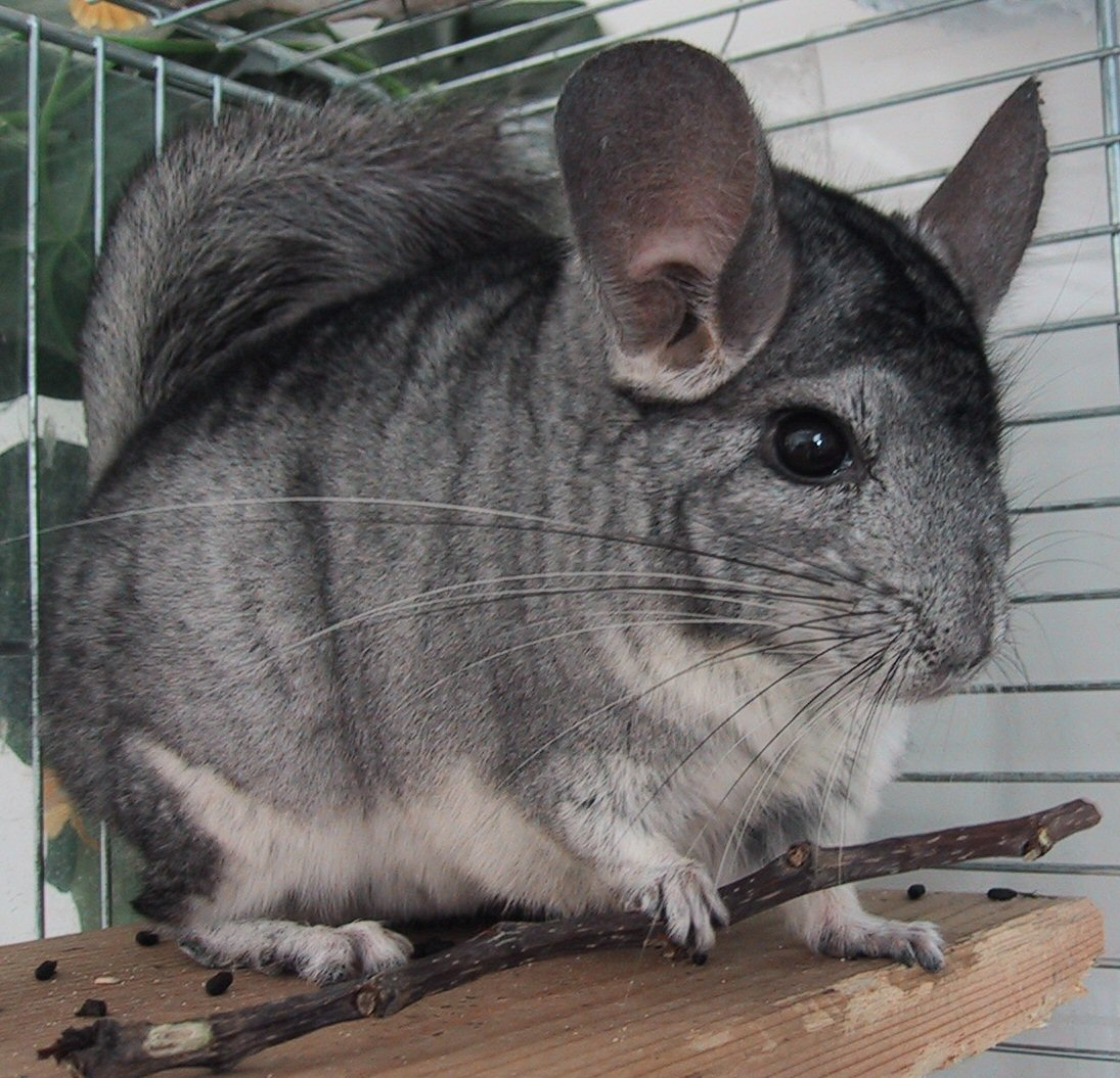Chinchilla - 01 photo