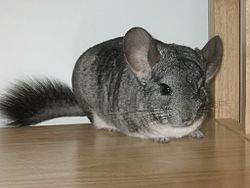Chinchilla - 02 photo