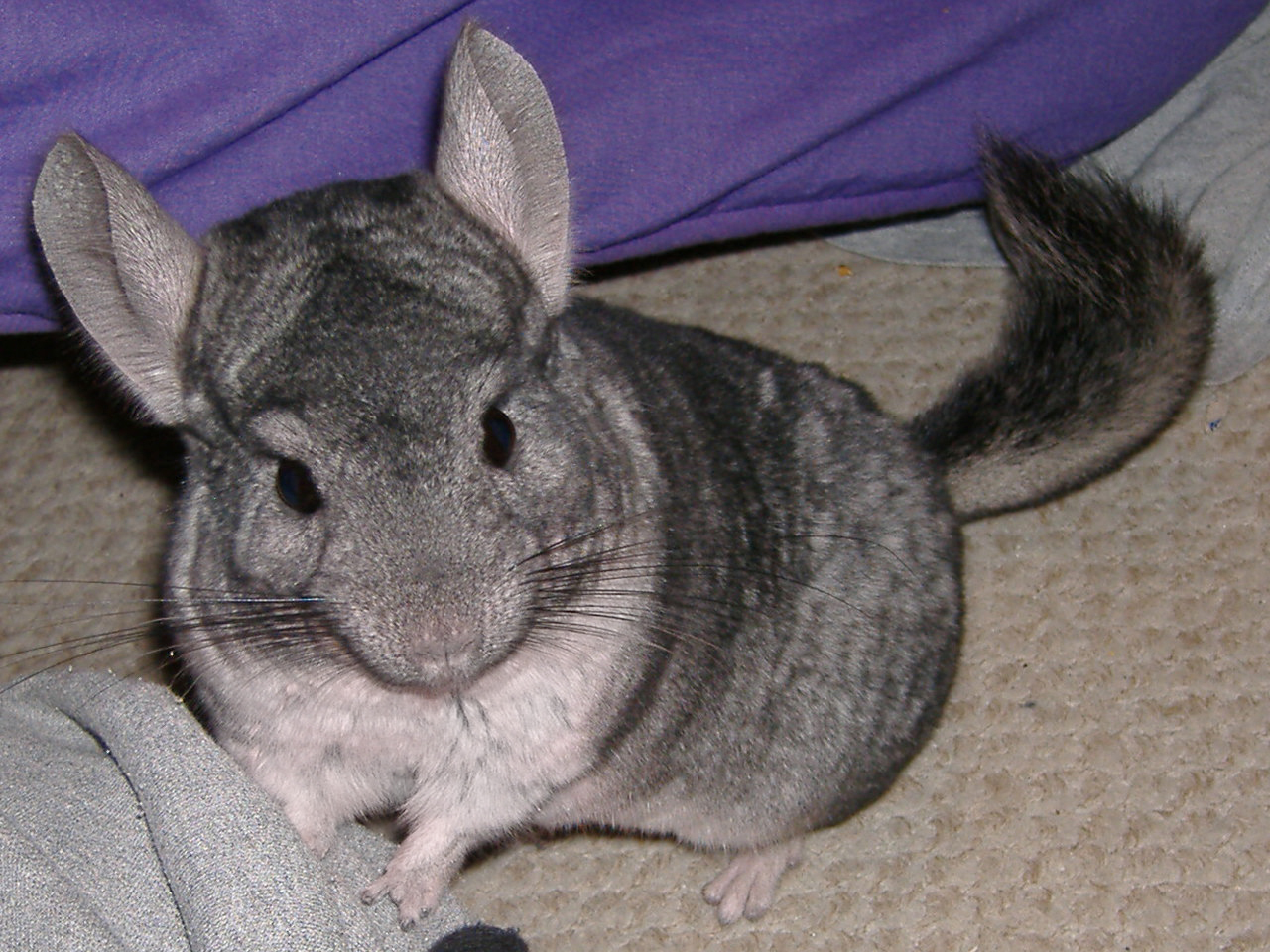 Chinchilla - 03 photo