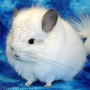 Chinchilla - 05 photo