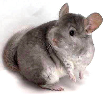 Chinchilla - 06 photo