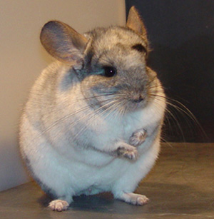 Chinchilla - 07 photo