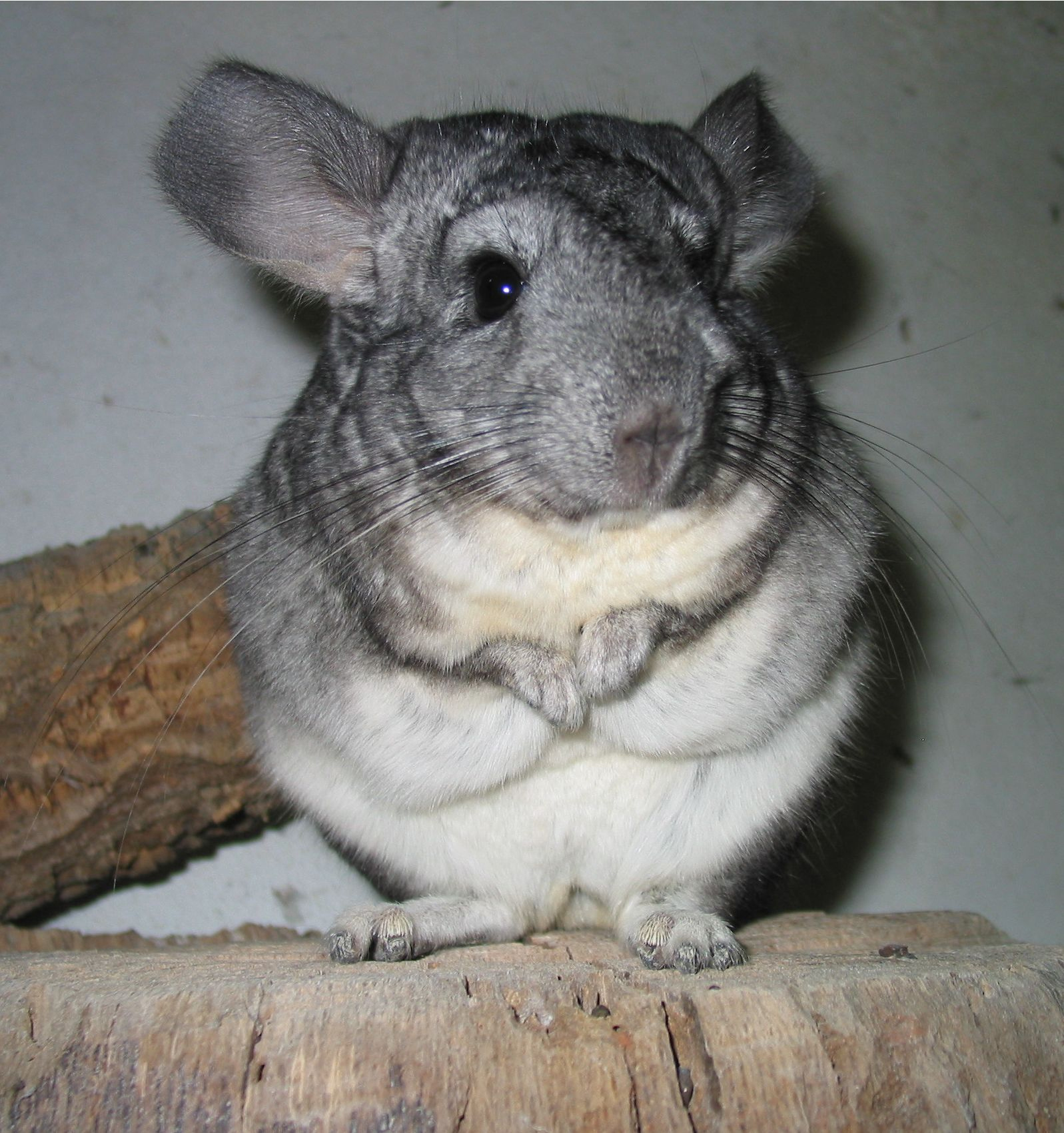 Chinchilla - 09 photo