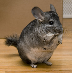 Chinchilla - 11 photo