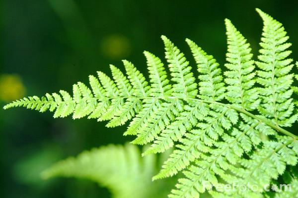 how to bring ferns back to life