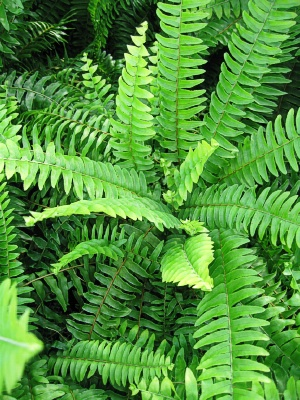 Fern The Meaning Of The Dream In Which You See Fern
