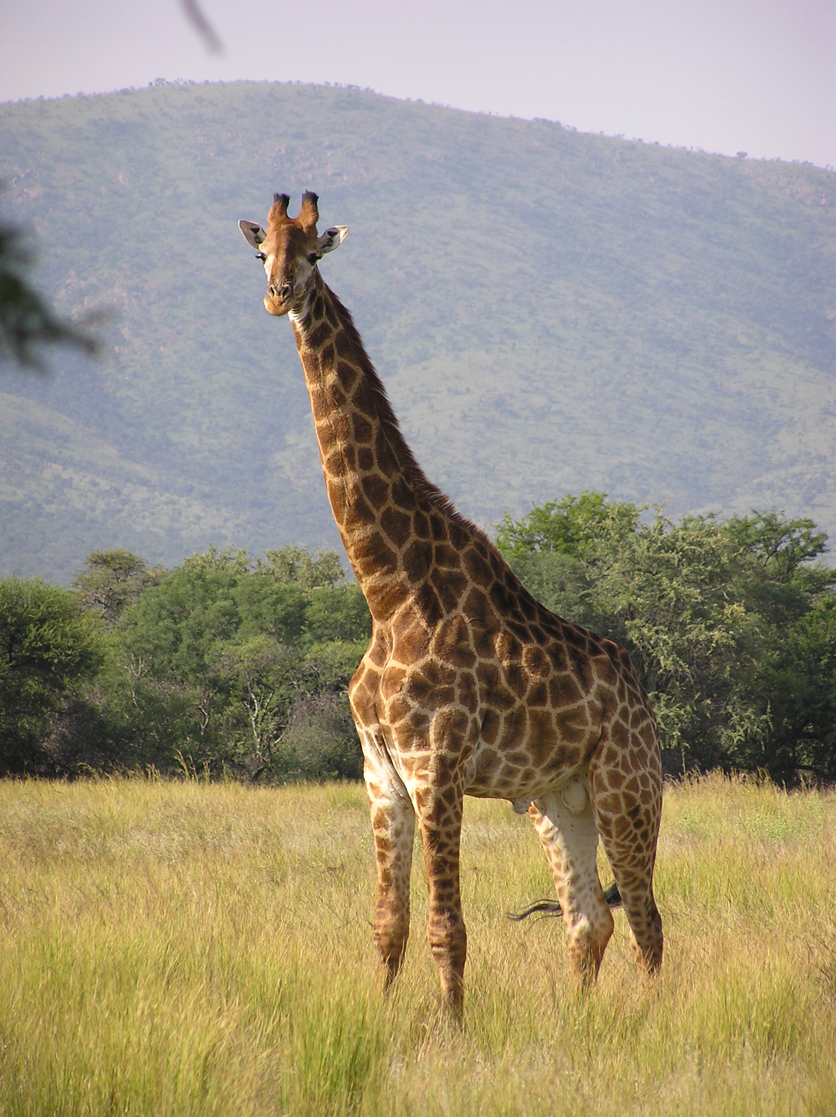 Giraffe - 01 photo