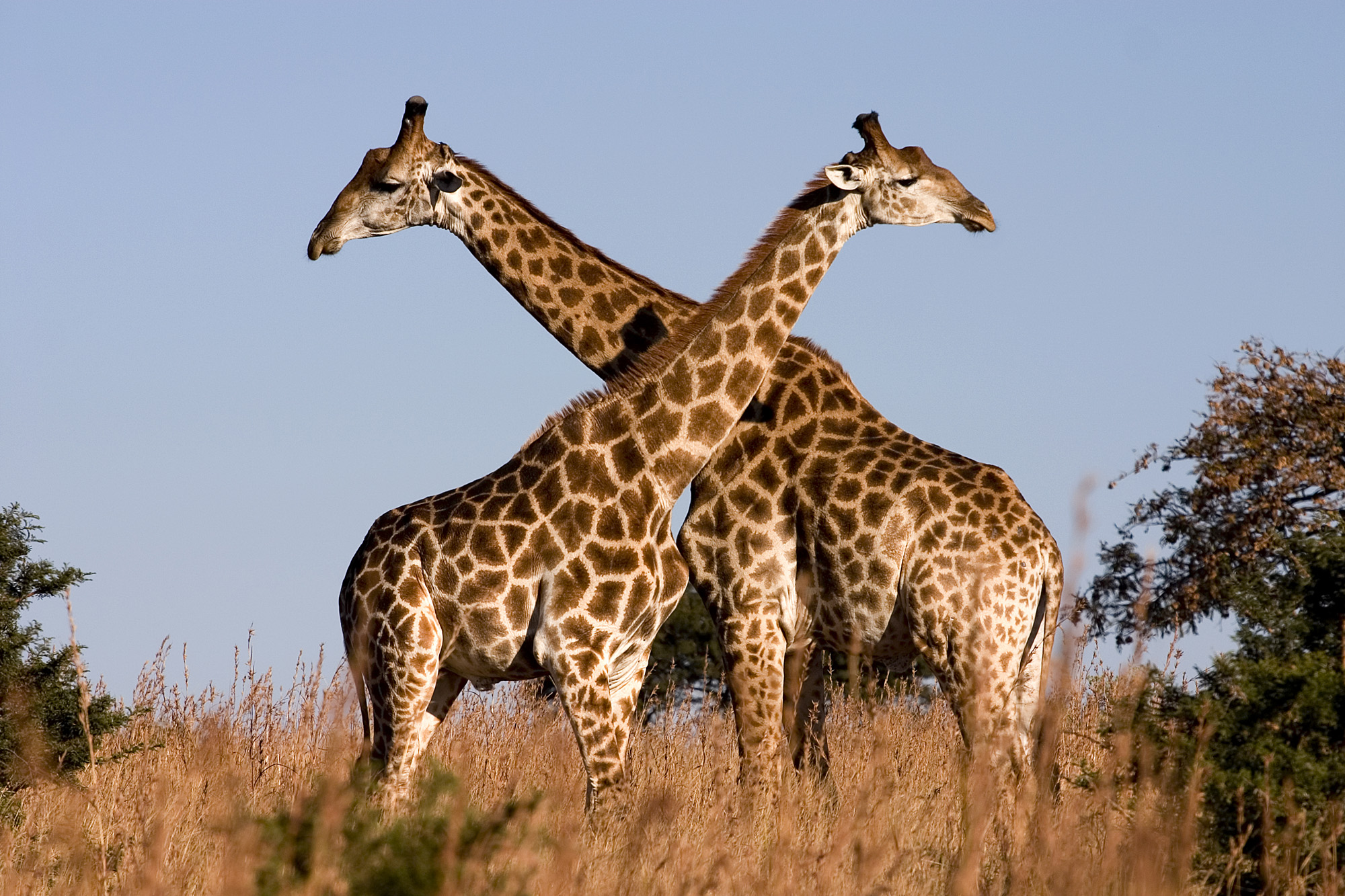 Giraffe - 03 photo