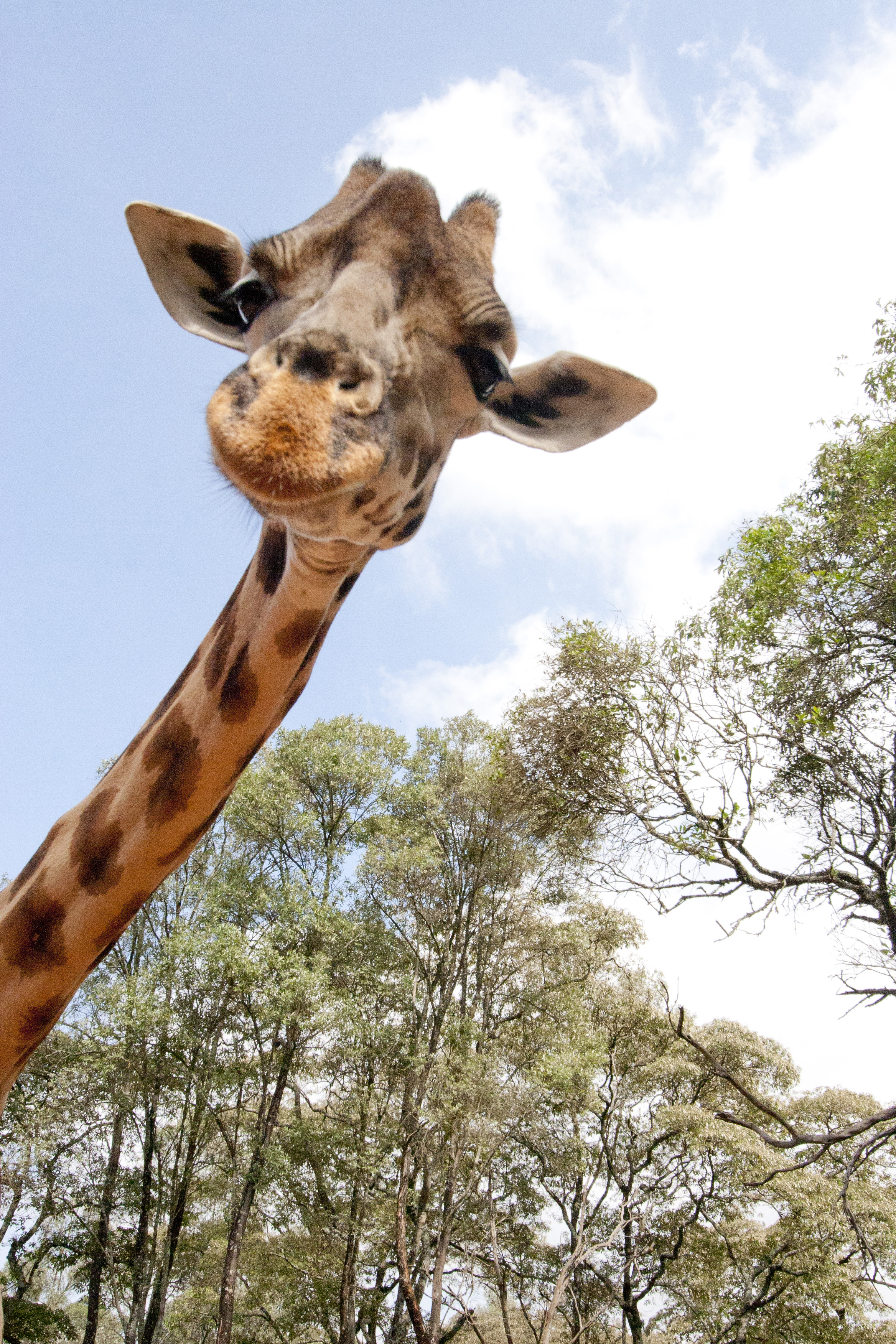 Giraffe - 04 photo