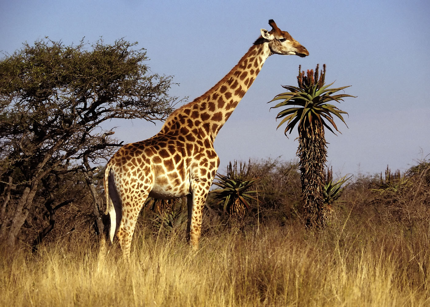 Giraffe - 07 photo
