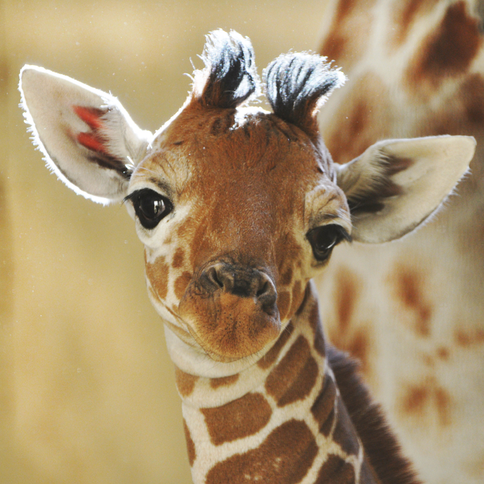 Giraffe - 08 photo