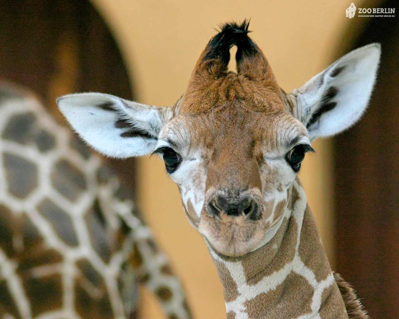 Giraffe - 11 photo