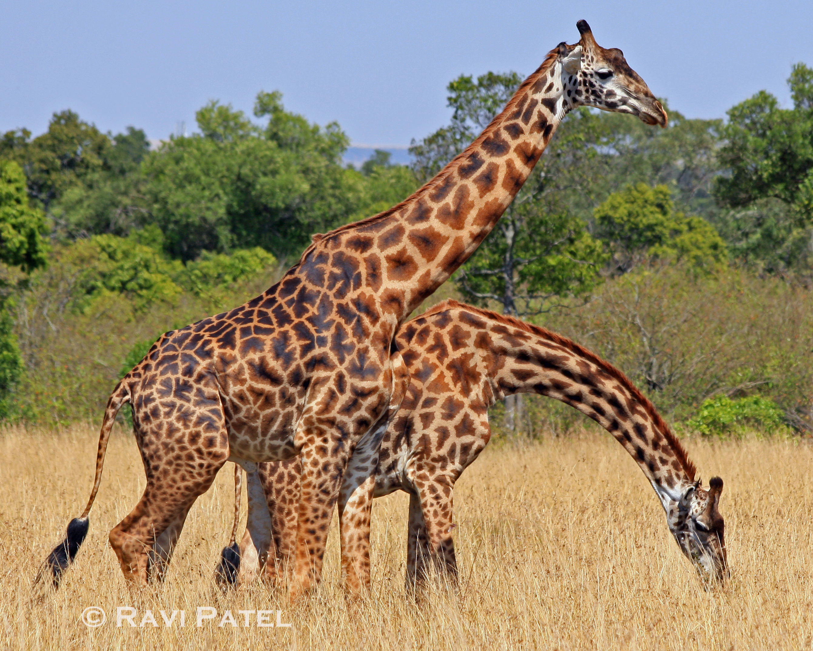 Giraffe - 12 photo