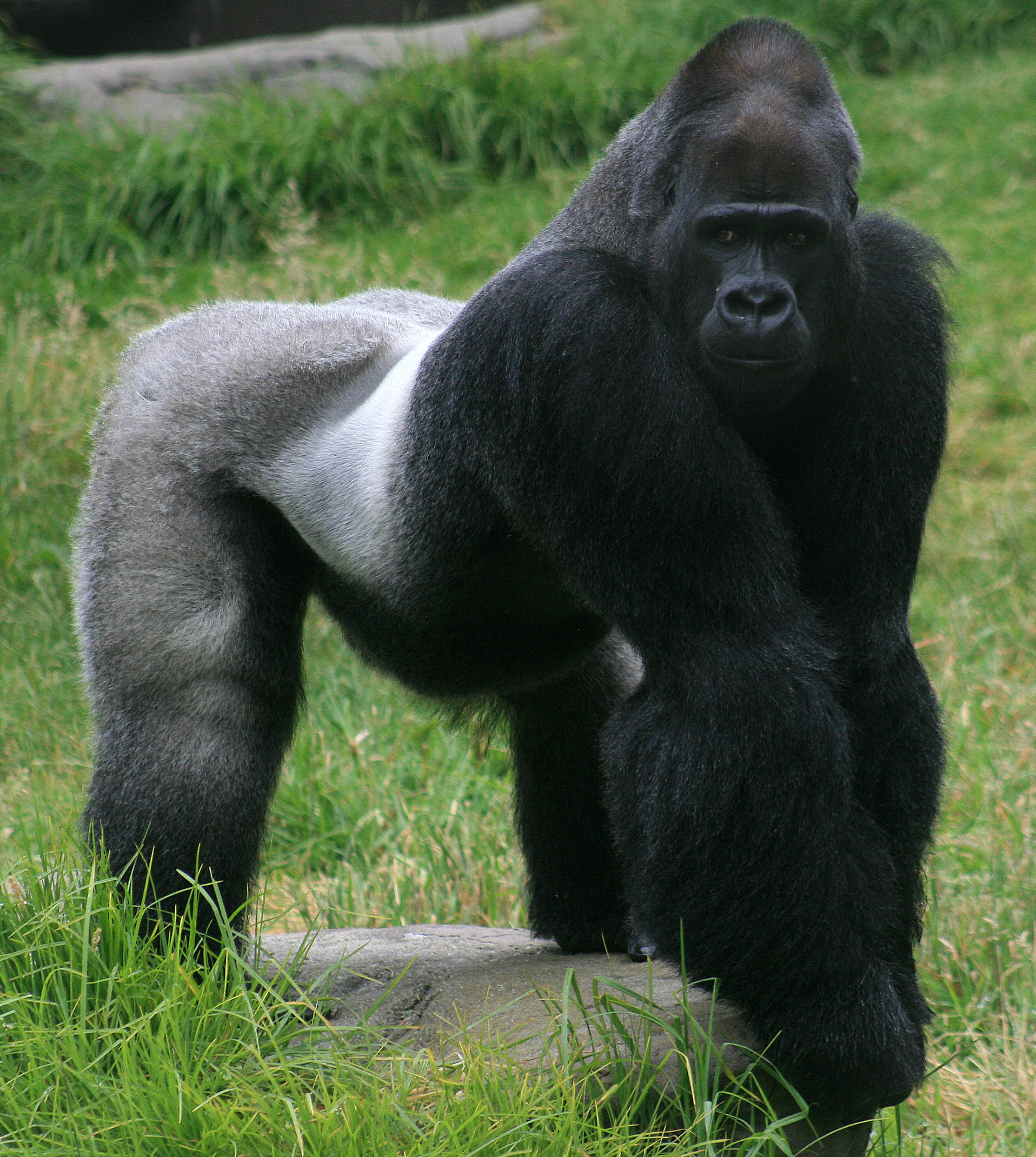 Gorilla - 02 photo