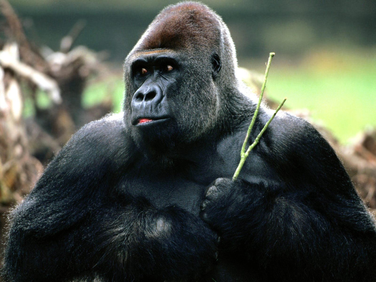 Gorilla - 03 photo