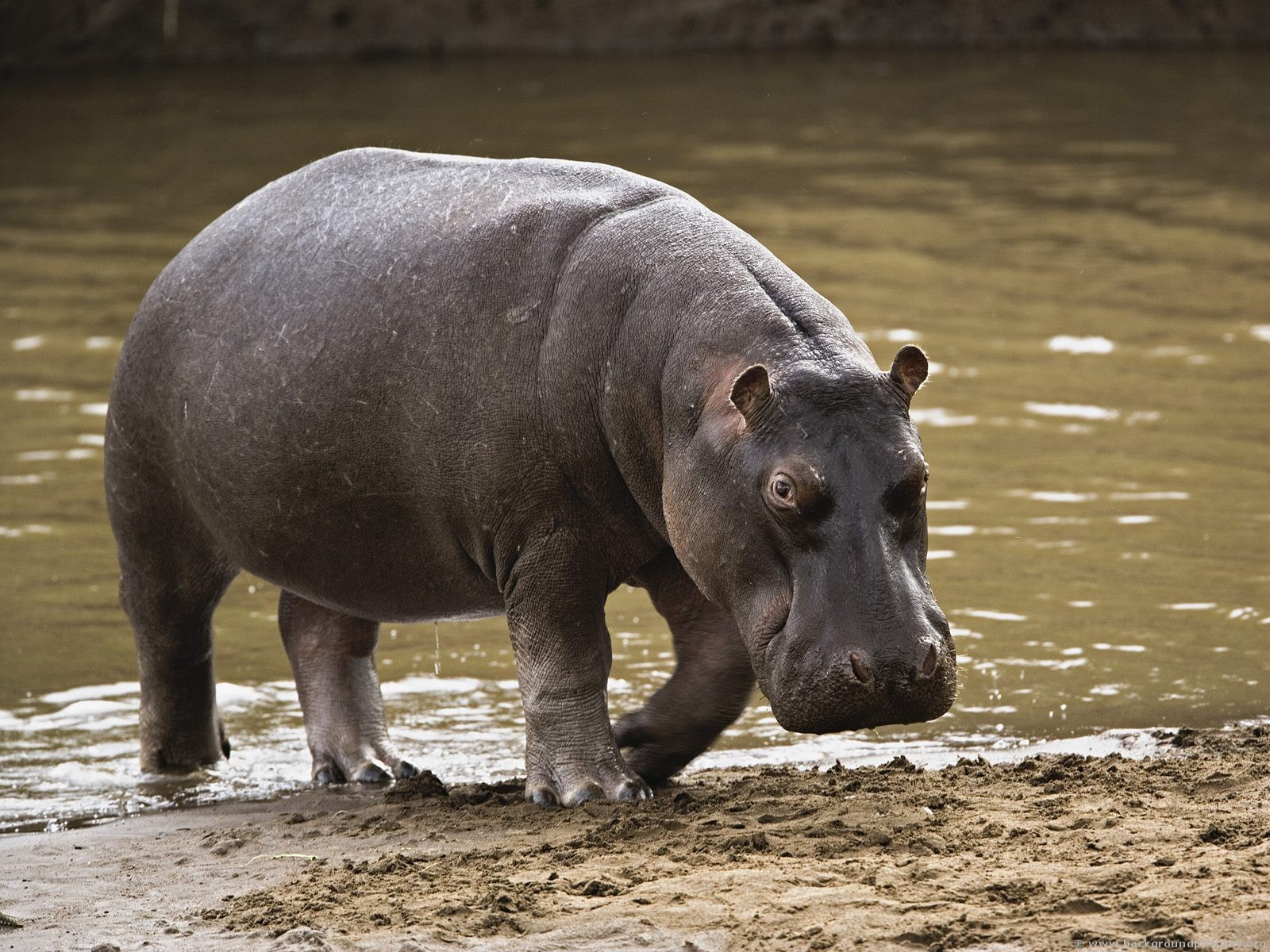 Hippopotamus - 01 photo
