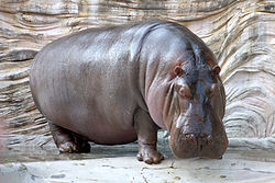 Hippopotamus - 02 photo