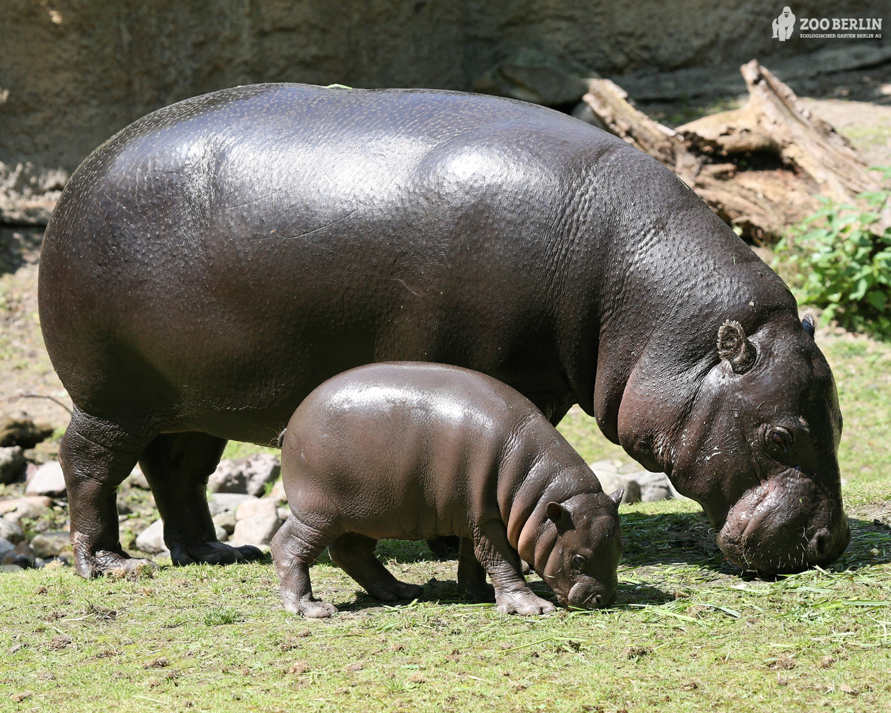 Hippopotamus - 05 photo