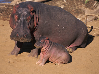 Hippopotamus - 06 photo