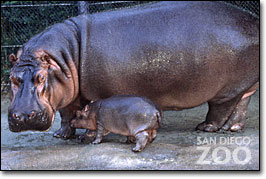 Hippopotamus - 09 photo